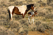 Feral Horse, Equus ferus, At McCullough Peaks Wildlife Management Area, Wyoming, United States, Mother and foal/juvenile, young
