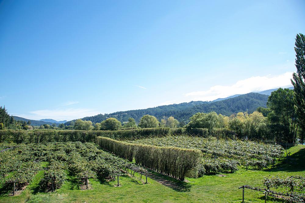 Kiwifruit orchards in the Motueka Valley Nelson
