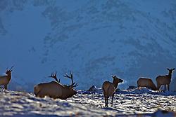 Bugling Bull Elk and his harem in Waterton Lakes National Park