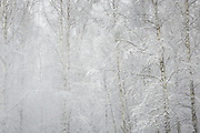 Snow covered birch trees (Betula sp.) in young forest stand, Vidzeme, Latvia Ⓒ Davis Ulands | davisulands.com