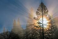 Sunlight through a pine tree in Yosemite Valley, Yosemite National Park, California