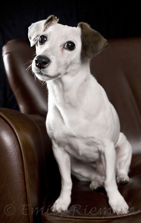 Jack Russell Terrier on armchair