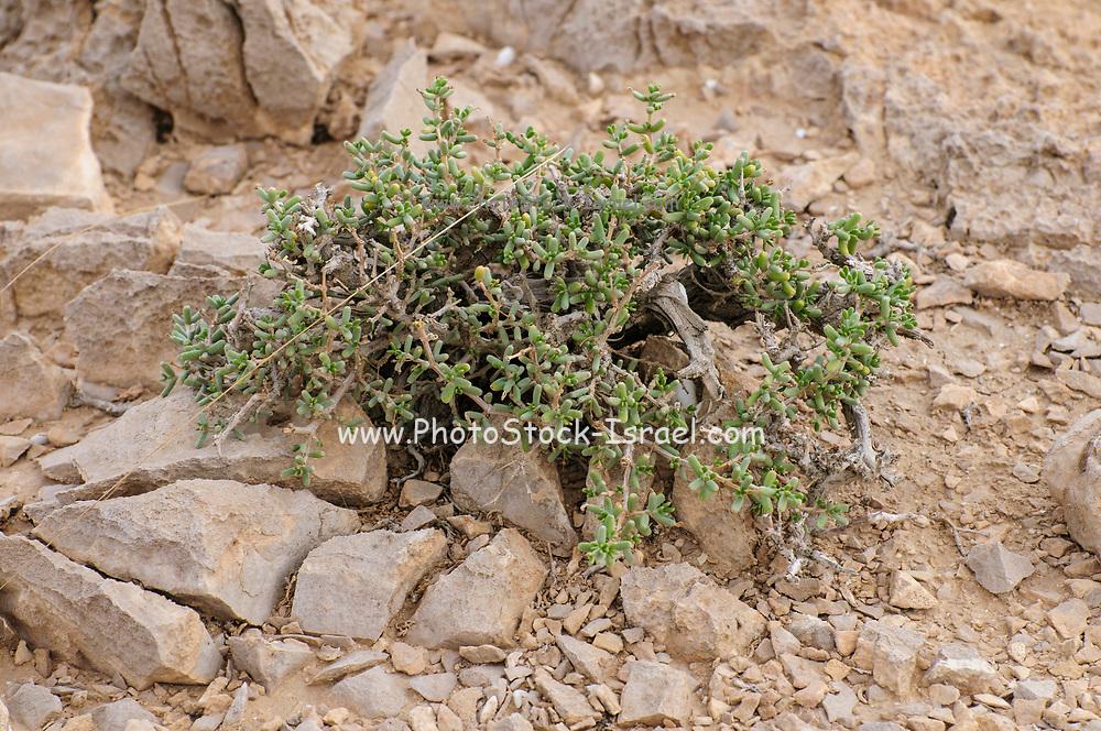 Negev Desert Vegetation Photographed in Nahal  Tzeelim [Tze'eelim Stream], Negev Desert, Israel  in December