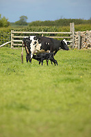 British Holstein Fresian cow with newborn calf