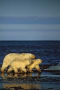 Alaska. Polar Bears on the Barrow beachfront.