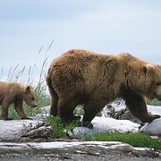 Alaska brown bear (Ursus middendorffi) mother and cub walking on driftwood. Katmai National Park & Preserve, Alaska