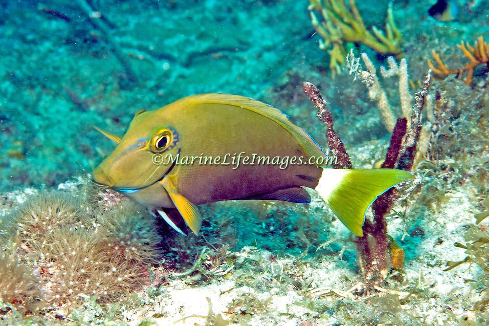 Ocean Surgeonfish inhabit reefs in Tropical West Atlantic; picture taken Key Largo, FL.