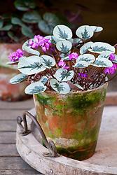 Cyclamen coum in a terracotta pot