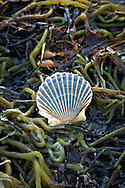A bay scallop shell resting on seaweed at West Dennis Beach.