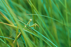 United States, Colorado, praying mantis (Stagmomantis carolina) in grass