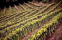 Vineyard in late spring, Provence France, with new leaves starting to show