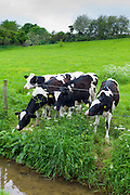 Holstein-Friesian cows in meadow by a stream at Swinbrook in The Cotswolds, Oxfordshire