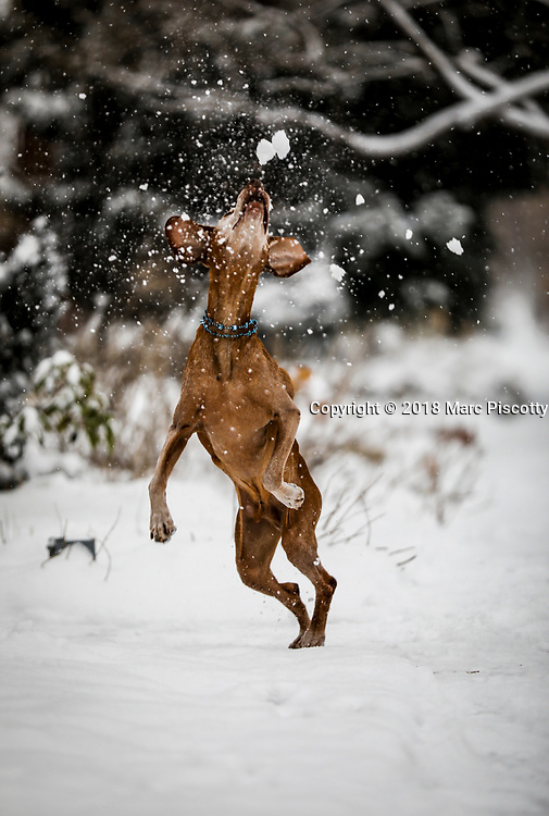 SHOT 2/19/18 5:25:21 PM - Tanner, a 13 year-old male Vizsla, plays in the snow during a winter storm in Denver, Co. The Vizsla is a dog breed originating in Hungary, which belongs under the FCI group 7 (Pointer group). The Hungarian or Magyar Vizsla are sporting dogs and loyal companions, in addition to being the smallest of the all-round pointer-retriever breeds. The Vizsla's medium size is one of the breed's most appealing characteristics as a hunter of fowl and upland game, and through the centuries the Vizsla has held a rare position among sporting dogs – that of household companion and family dog. The Vizsla is a natural hunter endowed with an excellent nose and an outstanding trainability. It was bred to work in field, forest, or water. Although they are lively, gentle-mannered, demonstrably affectionate and sensitive, they are also fearless and possessed of a well-developed protective instinct. (Photo by Marc Piscotty / © 2018)