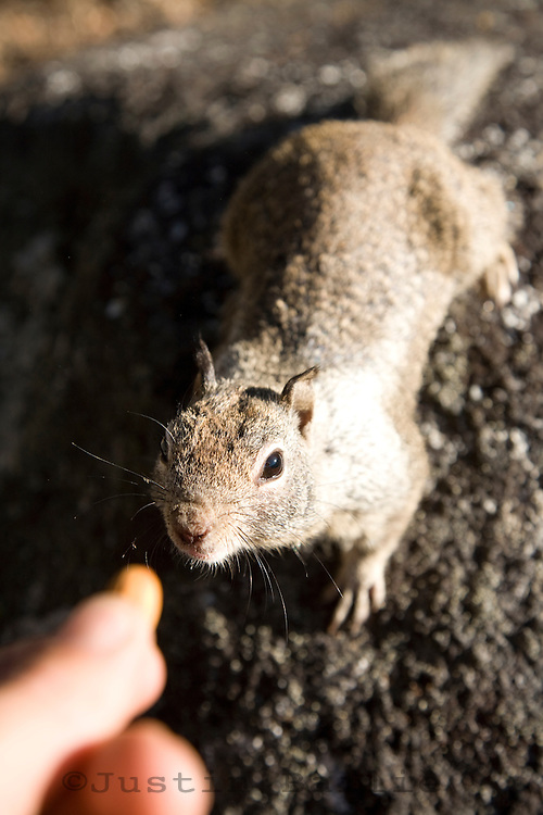 Tourist feeding ground squirrel in Yosemite National Park, Ca. The park service diccourages feeding animal or leaving food out as animals will deviate from their natural feeding habits and become dependant on human food.