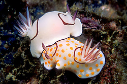 These nudibranchs, Chromodoris annulata, are different color phases of the same species. Mergui Archipelago, Myanmar, Andaman Sea