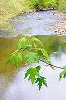 Tree Branch Over the Patapsco River, Maryland, USA