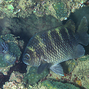 Night Sergeant inhabit shallow rocky inshore surge areas, venture from dark recesses only at night in Tropical West Atlantic; picture taken Dominica.