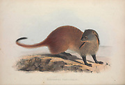 stripe-necked mongoose (Herpestes vitticollis) From the book Zoologia typica; or, Figures of new and rare animals and birds described in the proceedings, or exhibited in the collections of the Zoological Society of London. By Fraser, Louis. Zoological Society of London. Published by the author in London, March 1847