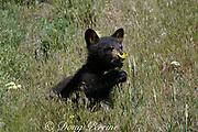 black bear, Ursus americanus, cub eating flower near Tower intersection, Yellowstone National Park, Wyoming, U.S.A.