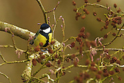 A great tit (Parus major) in a tree next to Noah's Lake, Shapwick Heath in late winter.