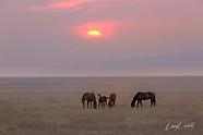 Wild Horses - Western States