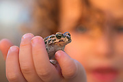 young boy gently holds a Marsh Frog (Pelophylax ridibundus in the past was also known as Rana ridibunda) in his hand Photographed at the Ein Afek nature reserve, Israel