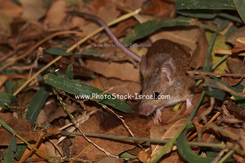 Rattus norvegicus. Brown rat looking for food.