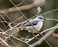Northern Mockingbird (Mimus polyglottos). Image taken with a Nikon D2xs camera and 80-400 mm VR lens.