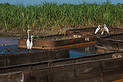 Sugarcane barges (punts)<br /> Wales<br /> Georgetown<br /> GUYANA<br /> South America
