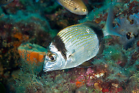Two-banded bream (Diplodus vulgaris) Larvotto Marine Reserve, Monaco, Mediterranean Sea<br /> Mission: Larvotto marine Reserve