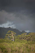Tree amongst undergrowth against cloudy sky, Sukamade beach, Forest in the background, Meru Betiri National Park, East Java, Indonesia, Southeast Asia