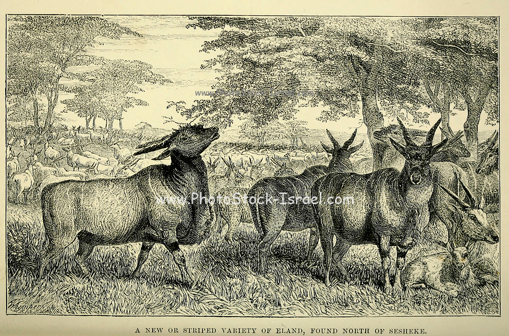 A new or striped variety of Eland, found north of Sesheke From the book ' Missionary travels and researches in South Africa ' by Livingstone, David, 1813-1873; Arnot, Fred. S. (Frederick Stanley), 1858-1914; Published in London by J. Murray in 1899