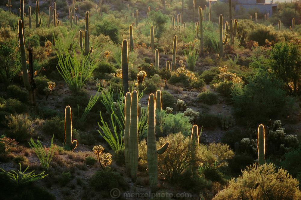 Saguaro (tall) and ocotillo (spindly) cacti outside Tucson, Arizona, USA.