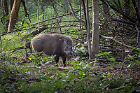 Wild male boar (Sus scrofa) in Huai Kha Khaeng Wildlife Sanctuary, Thailand.