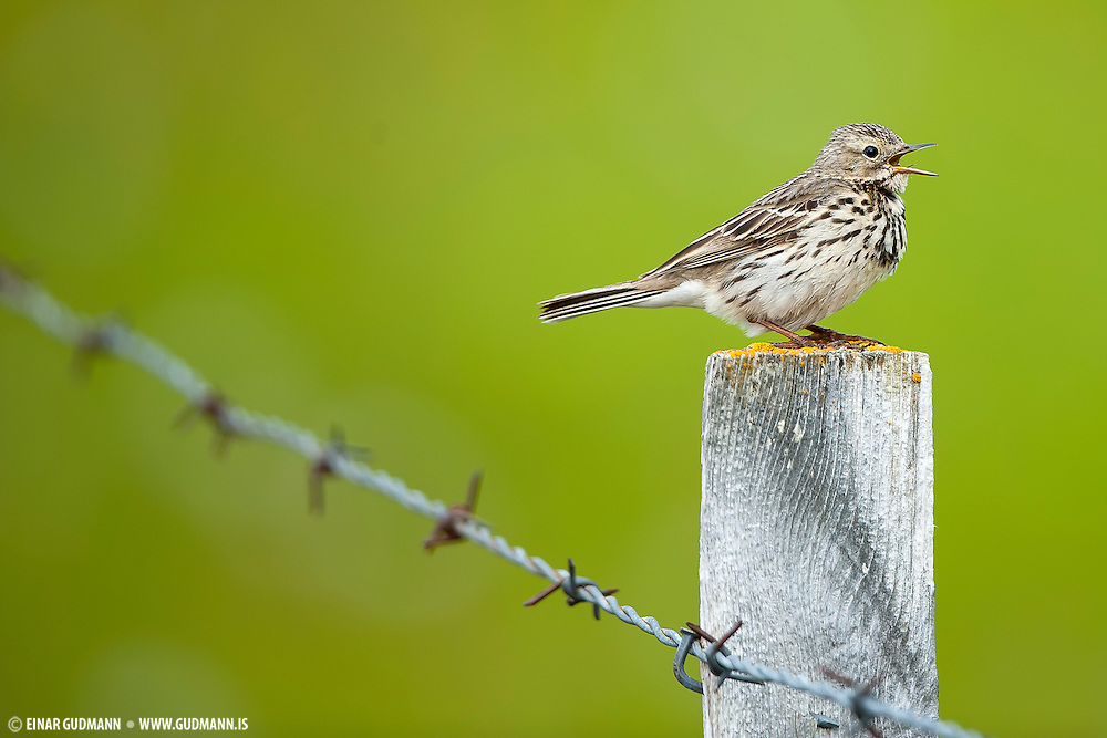 The Meadow Pipit Anthus pratensis, is a small passerine bird which breeds in much of the northern half of Europe and also northwestern Asia, from southeastern Greenland and Iceland east to just east of the Ural Mountains in Russia, and south to central France and Romania. It is very common in Iceland, but a very difficult bird to photograph due to it´s speed and behaviour. It seldom gives a chance for a good photo.