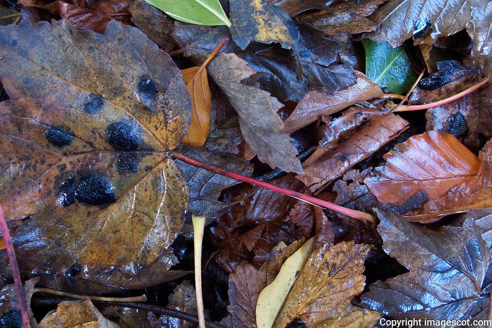Leaf litter, wet, blue sky reflection, autumn