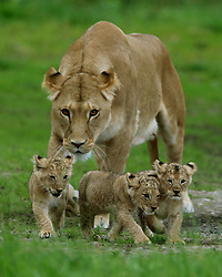 Three of the four cubs born at Blair Drummond Safari park near Stirling with mum Karis as they make their way out into their enclosure which they have been getting used to ahead of their public debut this week.