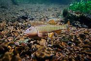 Hornyhead Chub-Breeding Pair<br /> <br /> Isaac Szabo/Engbretson Underwater Photo