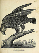 Golden Eagle (Aquila chrysaetos) is a bird of prey living in the Northern Hemisphere. It is the most widely distributed species of eagle. Copperplate engraving From the Encyclopaedia Londinensis or, Universal dictionary of arts, sciences, and literature; Volume VII;  Edited by Wilkes, John. Published in London in 1810