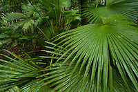 Fan palms growing in the rain forest understory in Halmahera Island, Indonesia.