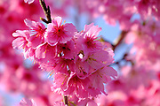 pink Peach blossoms on Peach tree blue sky background