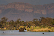 African Elephant (Loxodonta africana) swimming in Matlabas river. Waterberg mountains in back<br /> Marakele Private Reserve, Waterberg Biosphere Reserve<br /> Limpopo Province<br /> SOUTH AFRICA<br /> RANGE: Throughout sub-Saharan Africa