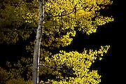 Backlit Aspen near Seeley Lake, Montana