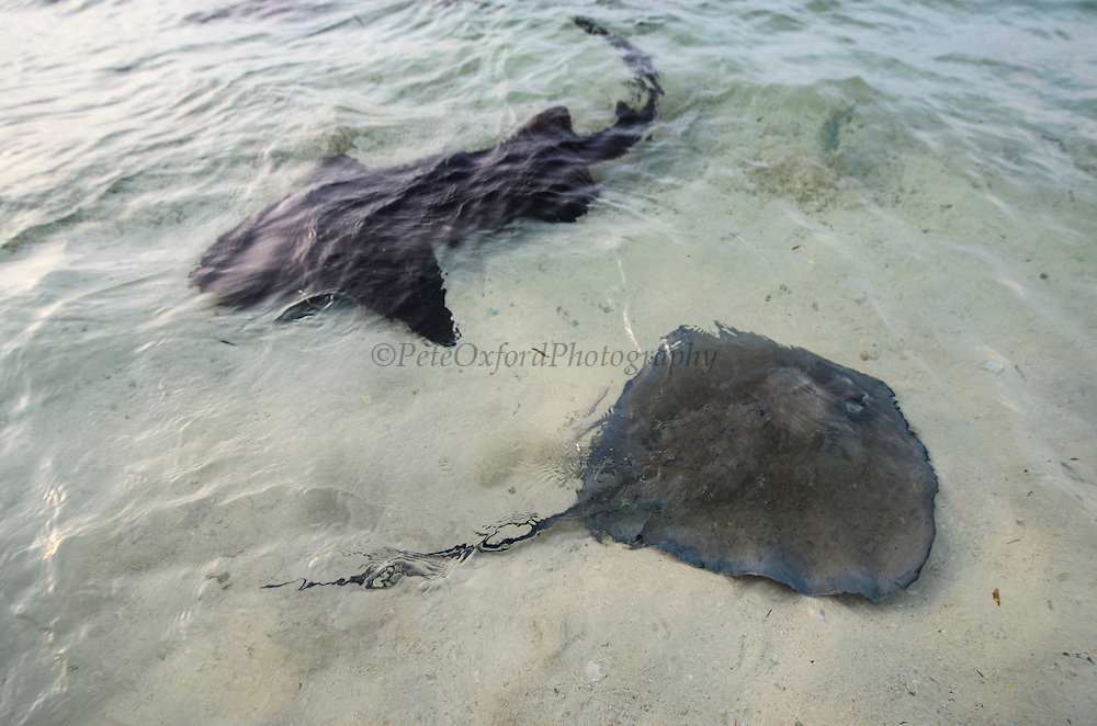 Nurse Shark (Ginglymostoma cirratum) & Southern Stingray (Dasyatis americana)<br /> Belize Barrier Reef. Second largest barrier reef system in the world.<br /> BELIZE, Central America