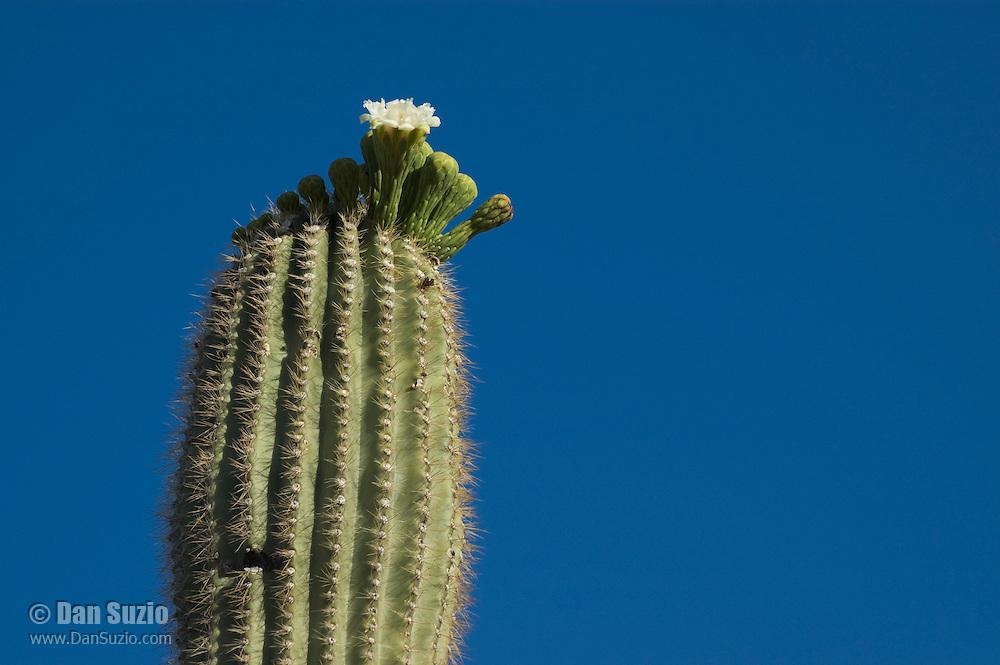 Blooming saguaro cactus, Carnegiea gigantea (Cereus giganteus) Organ Pipe Cactus National Monument, Arizona.