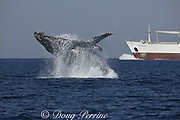 southern humpback whale, Megaptera novaeangliae, breaches in response to the sound of a passing freighter that startled it while resting during  the breeding migration up the east coast of South Africa ( Indian Ocean )