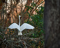 Great Egret perched on a branch with a catfish in Big Cypress Swamp. Image taken with a Nikon Df camera and 400 mm f2.8 lens (ISO 800, 400 mm, f/4, 1/1000 sec).