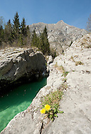 Flowers (Dandelion, Taraxacum officinale) beside the River Soca at the lower end of the Soca gorge. Alpe Adria Trail, Triglav national park, Slovenia. The Alpe Adria Trail (AAT) is a 750km hiking route through Austria, Slovenia and Italy. © Rudolf Abraham