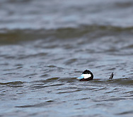 Photo Randy Vanderveen.Grande Prairie , Alberta.10-05-12 .A ruddy-duck bobs along on the water of Crystal Lake on a windy Wednesday morning. The birds' almost comical look is accentuated by its blue bill.