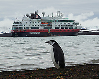 Chinstrap Penguin (Pygoscelis antarcticus). Deception Island. Image taken with a Leica T camera and 18-56 mm lens.